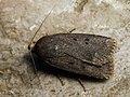 Amphipyra tragopoginis - Mouse moth - Совка козлобородниковая (40162544385).jpg