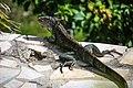 An Iguana (16251301205).jpg