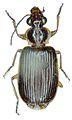 Anchista brunnea - ZooKeys-284-001-g001-4.jpeg
