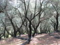 Ancient olive trees, Corfu, September 2005.jpg