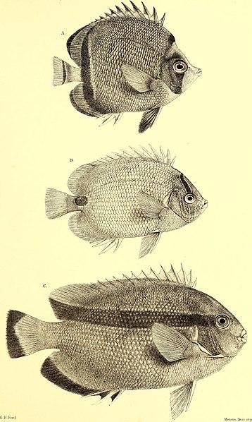 File:Andrew Garrett's Fische der Südsee (1873) (17572919234).jpg