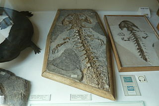 <i>Andrias scheuchzeri</i> species of amphibian (fossil)