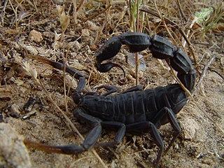 <i>Androctonus bicolor</i> Species of scorpion