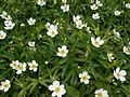 Anemone canadensis 2017-05-23 0462.jpg