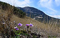 Anemone coronaria - Popy anemones 04.JPG