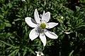 Anemone rivularis kz03.jpg