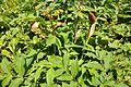 Angelica archangelica Archangel დუზუნდური.JPG