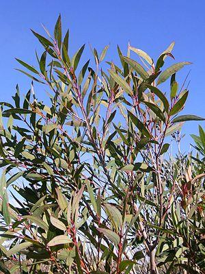 Angophora crassifolia - Garigal National Park, Australia