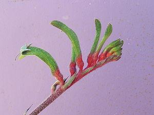 Anigozanthos manglesii gnangarra 01.jpg