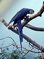 Anodorhynchus hyacinthinus -National Aviary, Pittsburgh, Pennsylvania, USA-8a.jpg