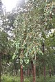 Anogeissus latifolia - Axle Wood Tree - at Begur 2014 (11).jpg