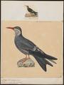 Anous inca - 1700-1880 - Print - Iconographia Zoologica - Special Collections University of Amsterdam - UBA01 IZ17900420.tif