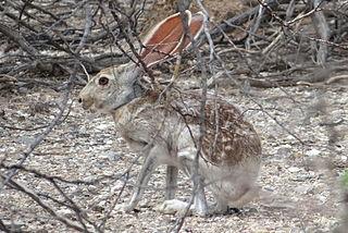 Antelope jackrabbit species of mammal