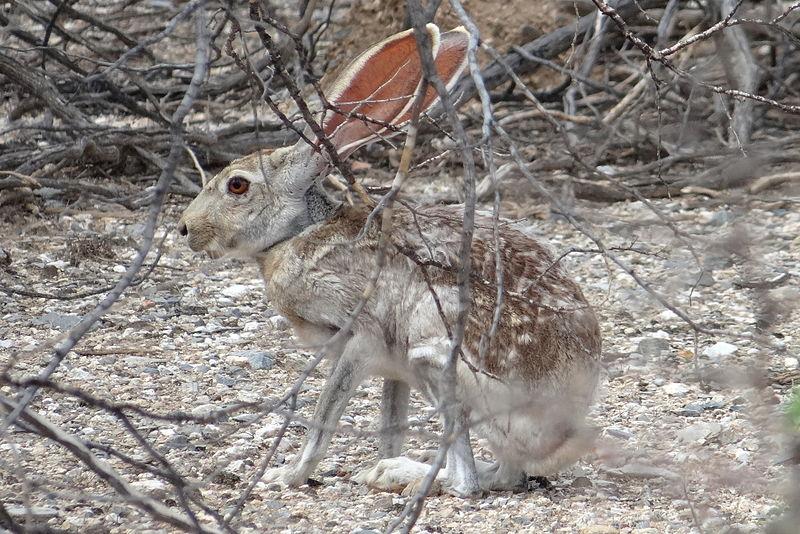 File:Antelope jackrabbit 2.JPG