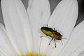 Anthaxia nitidula (Buprestidae), ♂ (9517254891).jpg