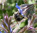 Anthophora plumipes - Flickr - gailhampshire (1).jpg