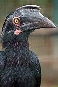 Anthracoceros malayanus -Kuala Lumpur Bird Park-8a.jpg