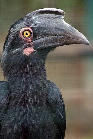 Black hornbill - Female at Kuala Lumpur Bird Park, Malaysia