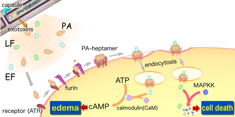 a summary of an article about anthrax toxins Author summary recent anthrax outbreaks in zambia and northern russia and biodefense preparedness highlight the need for new therapies to counteract fatal late-stage pathologies in patients infected with bacillus anthracis indeed, two toxins secreted by this pathogen—edema toxin (et) and lethal toxin (lt)—can cause death in face of effective antibiotic treatment.