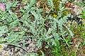 Anthyllis montana in Lozere (3).jpg