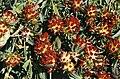 Anthyllis vulneraria 'coccinea' 1.jpg