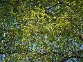 Antiaris toxicaria Lesch. (8364253689).jpg