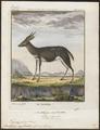 Antilope sylvatica - 1700-1880 - Print - Iconographia Zoologica - Special Collections University of Amsterdam - UBA01 IZ21400167.tif