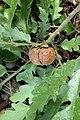 Aphelonyx cerricola on TURKEY OAK Quercus cerricola (6210148492).jpg