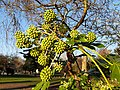 Apiales - Fatsia japonica - 8.jpg