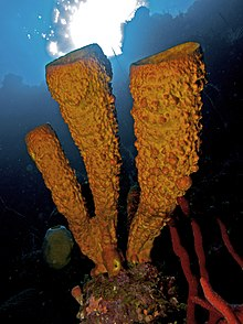 Aplysina fistularis (Yellow Tube Sponge) and Amphimedon compressa (Erect Rope Sponge- red).jpg