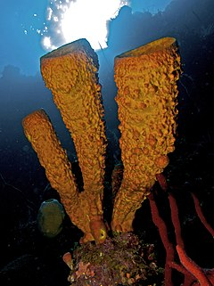 Aplysina fistularis (Yellow Tube Sponge) and Amphimedon compressa (Erect Rope Sponge- red)