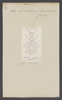 <i>Apocellus</i> Genus of beetles