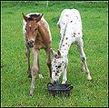 Appaloosa Foals.jpg