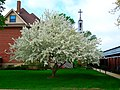 Apple Blossom ^ St. Francis Steeple - panoramio.jpg