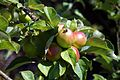 Apples in the Walled Garden of Parham House, West Sussex, England 2.jpg