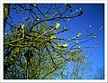 April Kastanie Parc Natural Mundenhof Freiburg - Master Botany Photography 2013 - panoramio.jpg