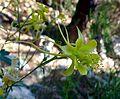 Aquilegia longissima. Longspur yellow columbine. Ranunculaceae - Flickr - gailhampshire.jpg