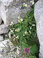 Arabis alpina austria.jpg