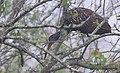 Aramus guarauna (Limpkin) 52.jpg