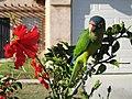 Aratinga canicularis -pet-4.jpg