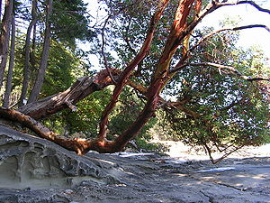 Gabriola Island - Arbutus tree and sandstone beach