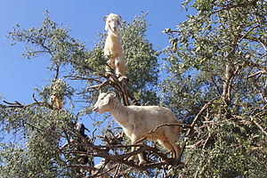 Goat farming - Goats are remarkably agile and will climb trees to browse.