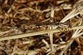 Argia agrioides-Female-2.jpg