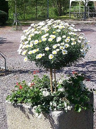 Argyranthemum frutescens - Image: Argyranthemum frutescens