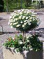 Argyranthemum-frutescens.jpg