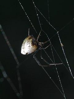 <i>Argyrodes elevatus</i> Species of spider