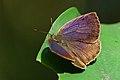Arhopala paramuta horishana dorsal view 20141212.jpg