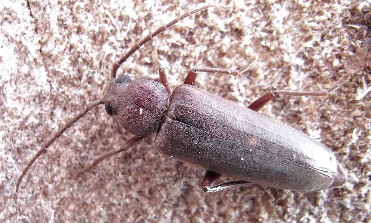Arhopalus rusticus - Wikipedia