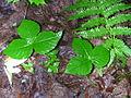 Arisaema triphyllum 1-jgreenlee (5097207875).jpg