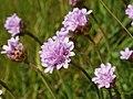 Armeria maritima (flower heads).jpg